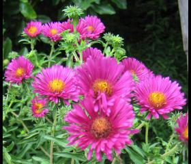 perennial-plants-aster-plants-perennial-aster-plants-fall-blooming-asters-photos