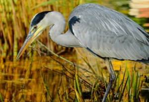 Grey Heron - common birds of vancouver island