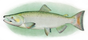 Different kinds of salmon in BC - Chinook Salmon