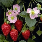 plants on vancouver island - Coastal Strawberry