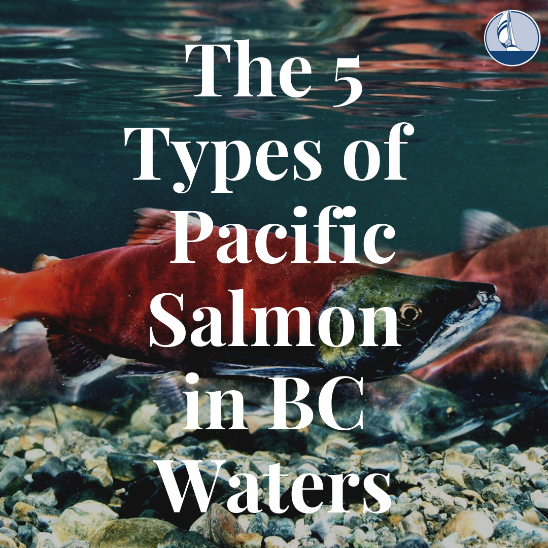 5 Types of Salmon Found in BC Waters - Van Isle Marina