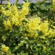 plants of vancouver island - Tall Oregon Grape