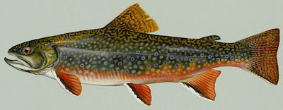 Trout found in BC waters - Brook trout