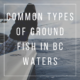 Common types of ground fish in BC waters