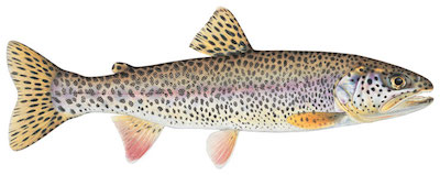 Trout around BC - Cutthroat Trout