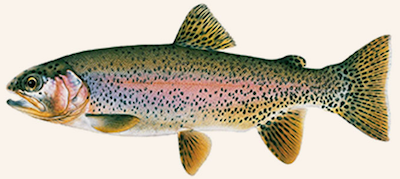 trout in bc waters - rainbow trout