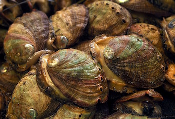 types of shellfish in BC - Abalone