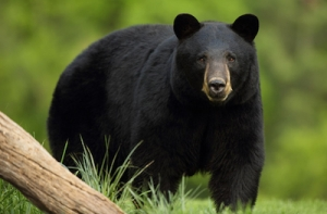 Black Bears of Vancouver Island