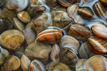 types of shellfish in BC - Clams