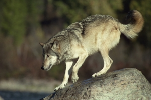 Grey Wolves of Vancouver Island