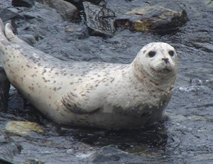Wildlife around Vancouver Island - Harbour Seal