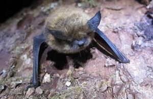 brown bats apenty on Vancouver Island