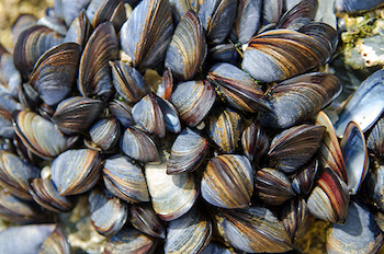 types of shellfish in BC - Mussels