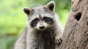 Wild animals on Van Isle - Racoon