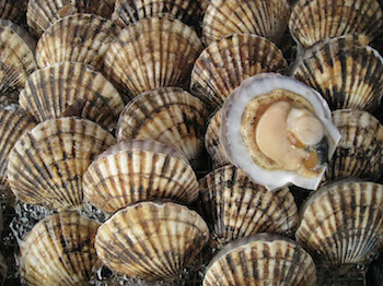 types of shellfish in BC - Scallops