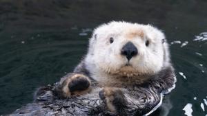 Vancouver Island Wildlife - Sea Otter