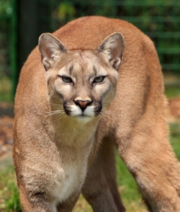 Cougars are home on Vancouver Island