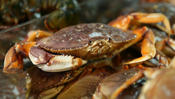 types of shellfish in BC - dungeness crab