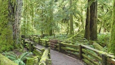 Tourist Attractions on Vancouver Island - Cathedral Grove Douglas Firs
