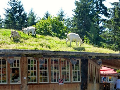 Tourist Attractions on Vancouver Island - Coombs Market Goats on the Roof